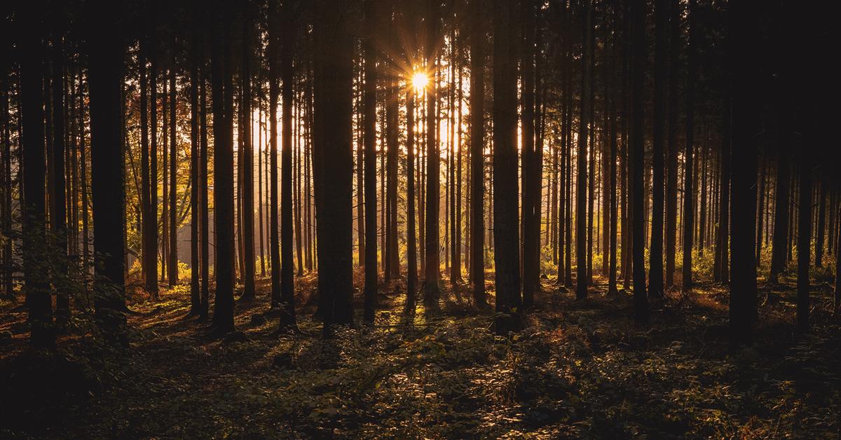 Mäntymetsä auringonnousussa